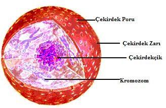 """Aynı şekilde canlı hücrelerinde hücre çekirdeğinin etrafında """"nuclear membrane"""" yani çekirdekzarı denilen bir doku bulunur. Bu doku dışarıdan içeriye madde geçişi sağladığı gibi çekirdeğin dağılmasını yani dışarı madde çıkışını engeller."""