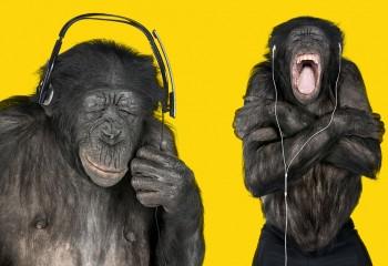 Maymun Müzikten Ne Anlar?