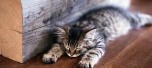 Kedilerin Beyinleriyle İlgili 7 Gerçek