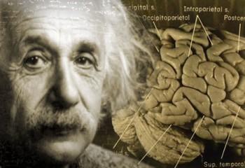 Beynin Büyüklüğü ile Zeka Arasında Bağlantı Var Mı?