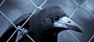 Zeki Kuşlar: Kargalar