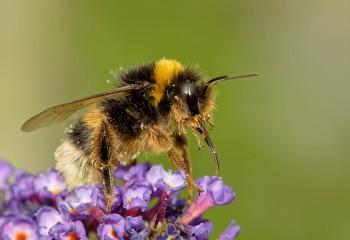 Yenilikçi Yaban Arıları