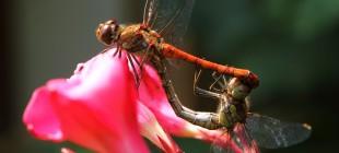 Kadın Erkek İlişkilerine Bir Çözüm Olarak: Yusufçuk Böceği